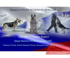 Восточно -Европейской Овчарки щенки от Гранд Чемпиона России